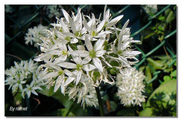 natnet les fleurs blanches